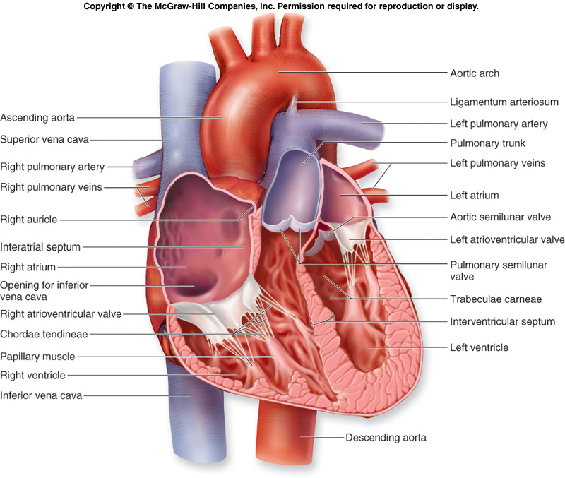 Human Skeleton Anterior View besides Human Body Outline Drawing besides Female Human Digestive System also Blood Flow Arteries likewise Electric Elemental Dog. on human heart diagram
